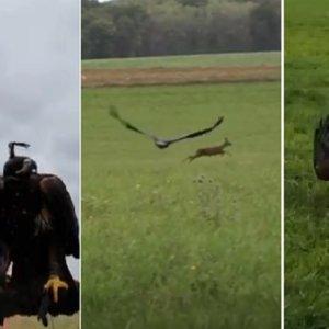 Un dron graba a un águila cazando corzos en este espectacular vídeo de cetrería