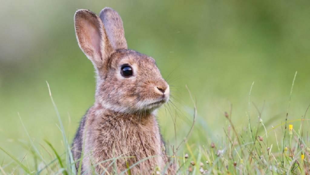 conejo