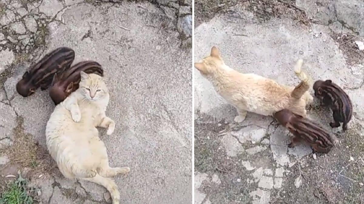 Sensacionales imágenes de una gata que cuida de dos crías de jabalí