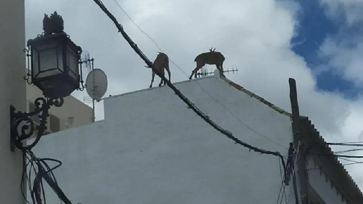 Graban a varias cabras montesas subidas a los tejados de Morón de La Frontera