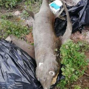 Encuentran abandonado en la calle un tiburón zorro disecado, cuya pesca está prohibida