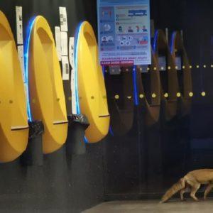 Un zorro se cuela en un banco en Navarra y la Policía lo captura