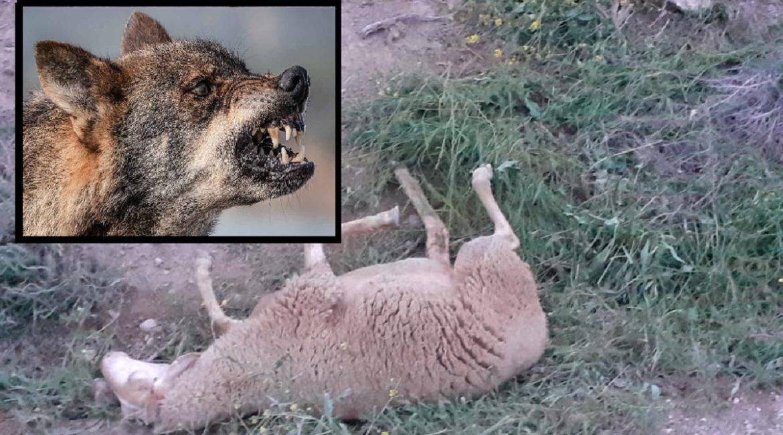 Los lobos tumban un pastor eléctrico, matan a 21 ovejas y hieren a otras 12 en Huesca