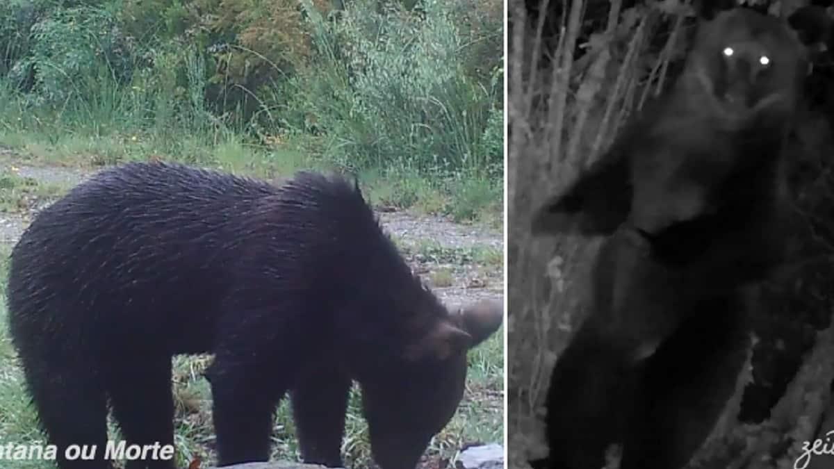Graban por primera vez un oso pardo en el Macizo Central Orensano