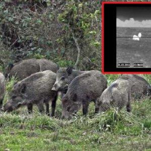 El jabalí se podrá cazar durante todo el año y con visión nocturna en el epicentro del COVID-19 en Italia