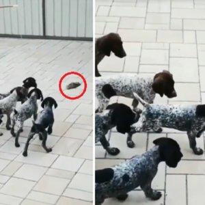 Estos cachorros de braco alemán de dos meses ya muestran su instinto de perro de caza