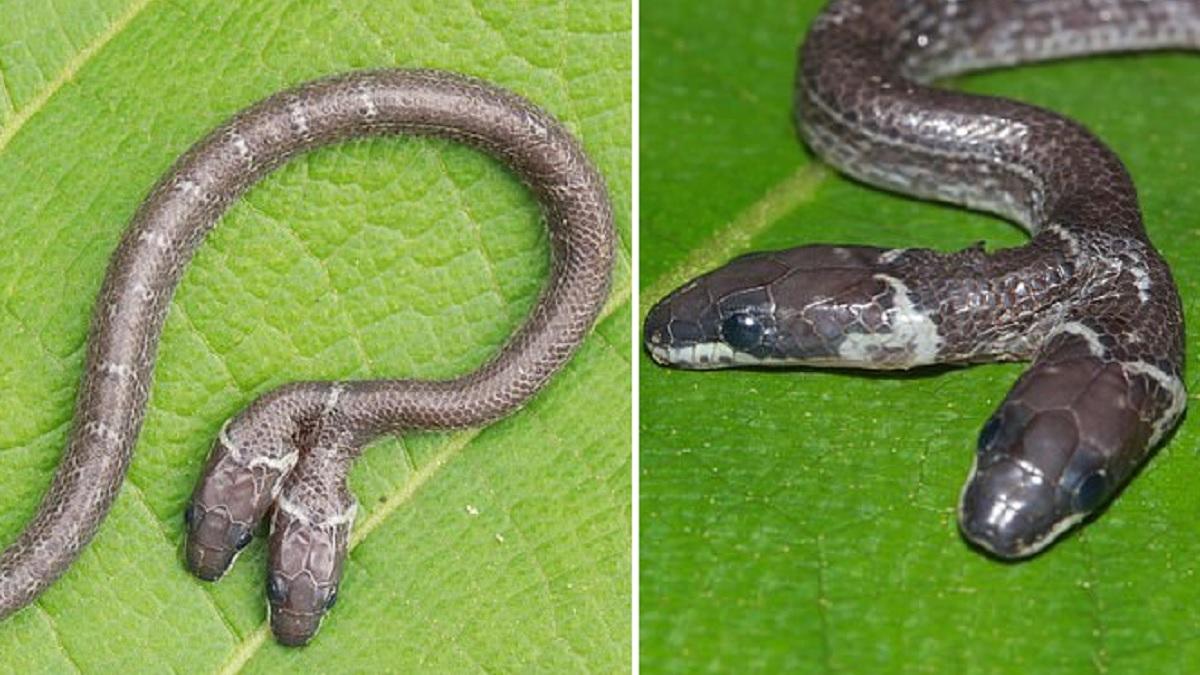 Encuentran una serpiente de dos cabezas en la India
