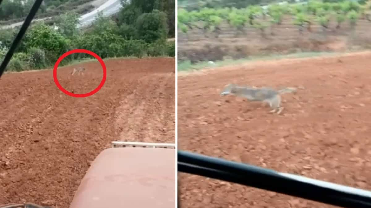 ¿Perro o lobo? el protagonista de este escalofriante vídeo divide a los internautas