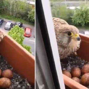 Un cernícalo anida en la maceta de su ventana y difunde un vídeo alimentándolo
