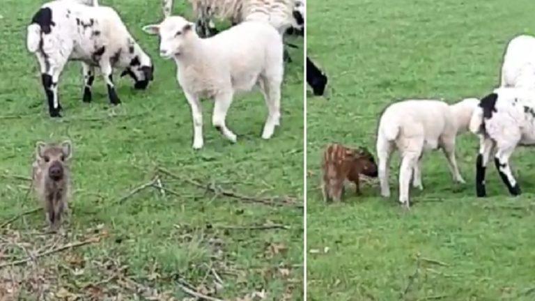rayón ovejas