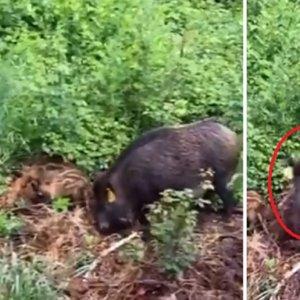 Graban a otra hembra de jabalí 'esterilizada' con la vacuna animalista seguida por una decena de crías