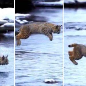 Este es el impactante salto a cámara lenta de un lince que parece volar