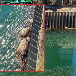 Un cazador documenta la agonía de los corzos antes de ahogarse en este canal