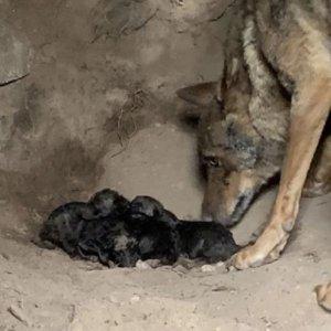 Graban a una loba pariendo a sus cachorros en Zamora