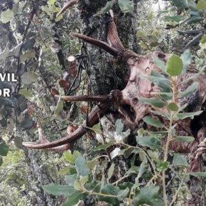 Investigado por furtivismo tras hallar en su coto tres cabezas de ciervo colgadas de una encina