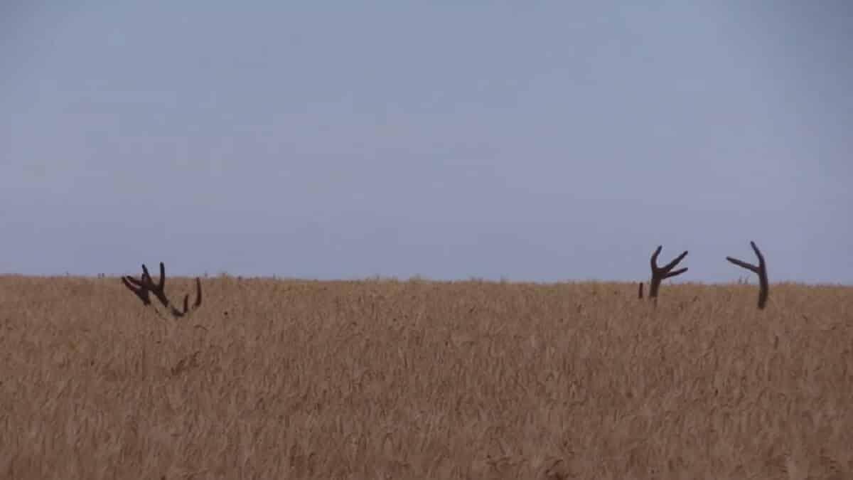 Graban a dos grandes ciervos tumbados en mitad de una siembra: ¡sus cuernas les delatan!
