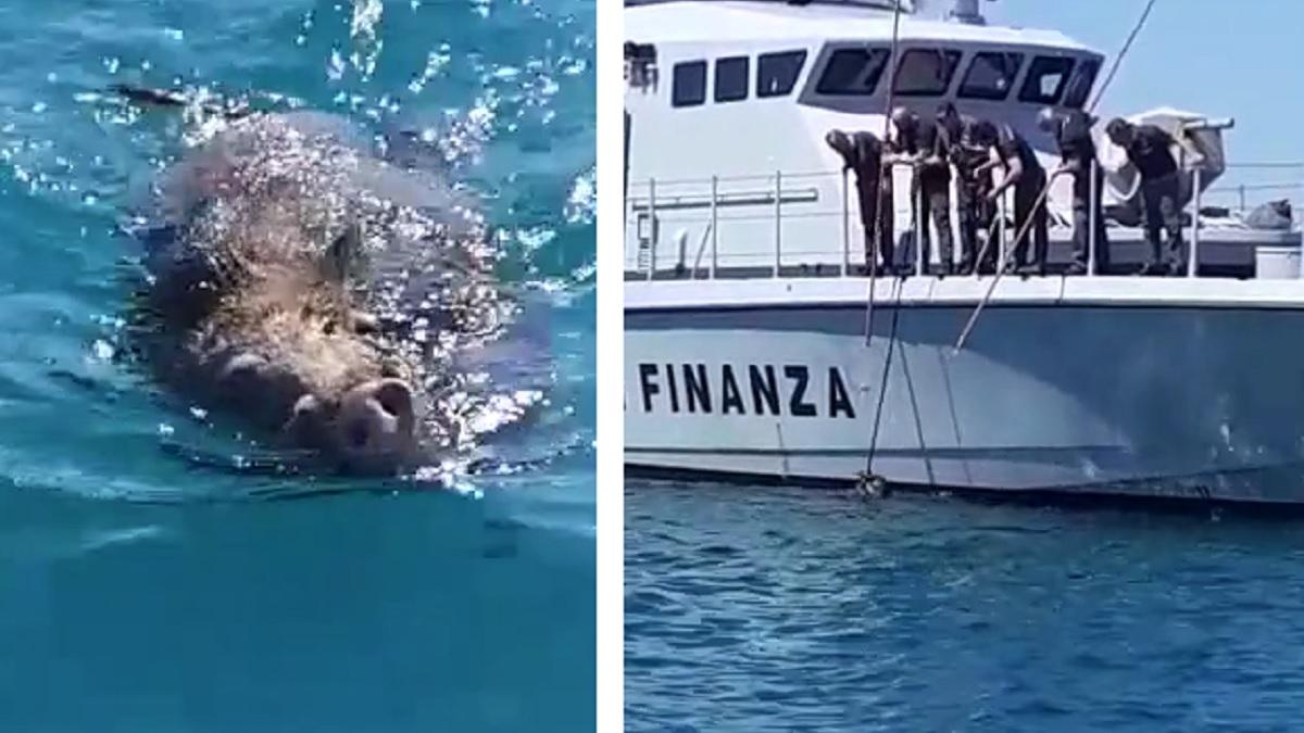 Un jabalí herido se tira al mar intentando salvarse y lo rescatan
