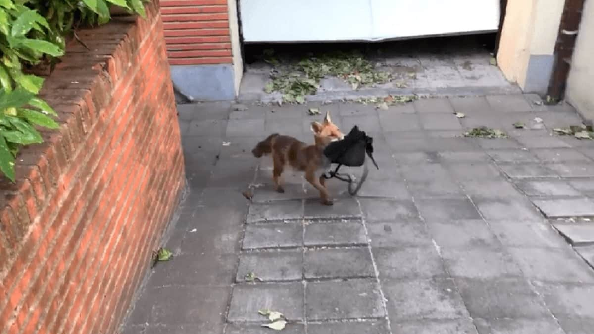 Graban a un zorro colándose en un garaje y robando un bolso