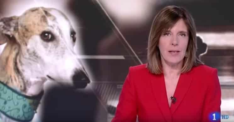 El Seprona confirma en TVE que en 2018 sólo se abandonaron 61 galgos