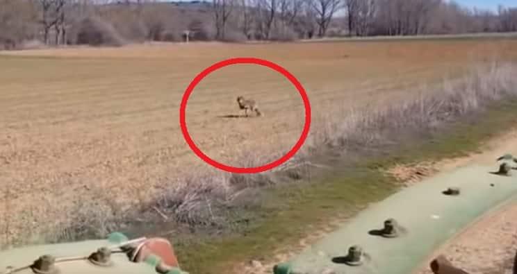 Un lobo da un susto de muerte a un agricultor: «¡Que viene a por mí!»