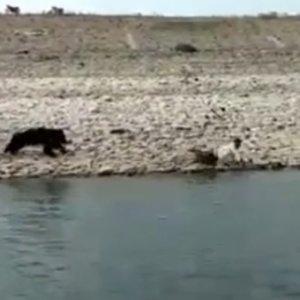 Un oso hiere de gravedad al trabajador forestal que intentaba capturarlo