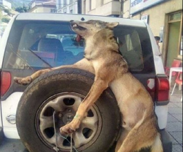 lobo guarda