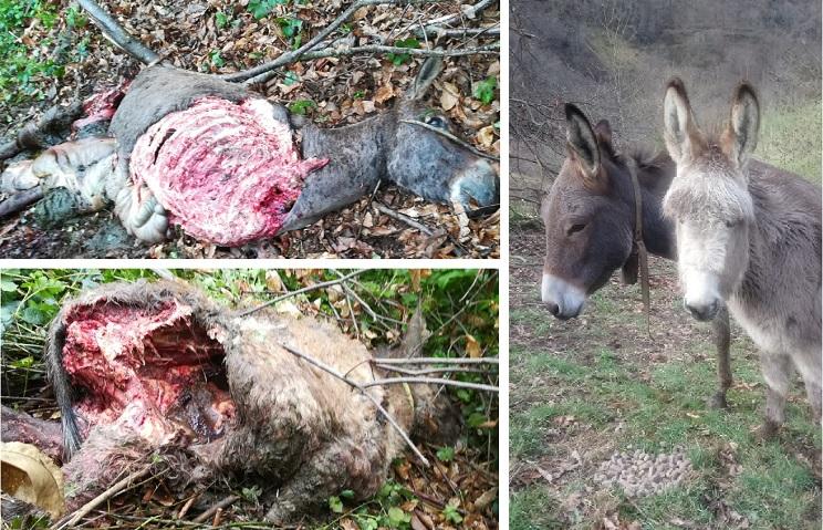 Un oso mata a 'Rajoy' y 'Margarita', dos burros, a la entrada de un pueblo asturiano
