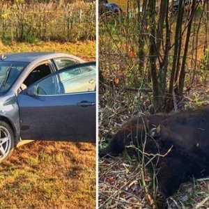 Un coche se estrella contra un oso de 360 kilos
