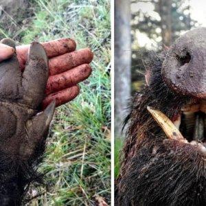Caza un gran jabalí 'ojeado' por un perro cuando cazaba corzos en Burgos