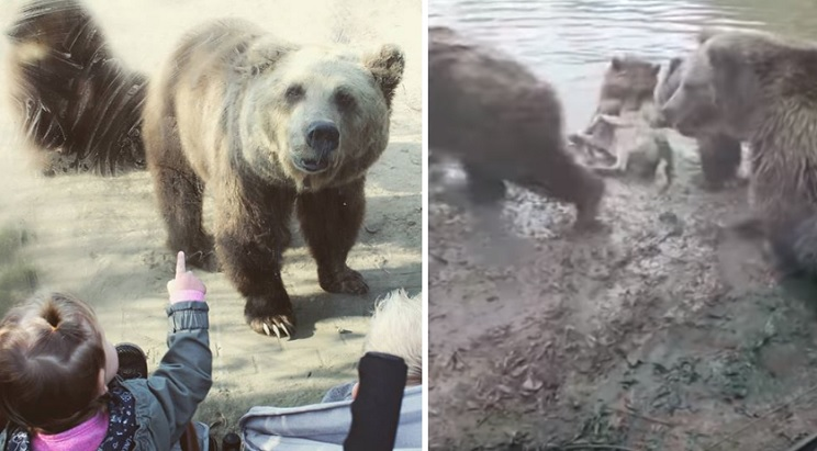 osos lobo