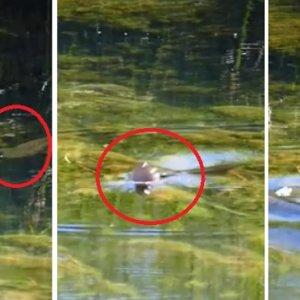 Este vídeo muestra cómo unas «truchas escapistas» esquivan el anzuelo tras la picada