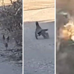 Graban a un cernícalo atacando a una pollada de perdices