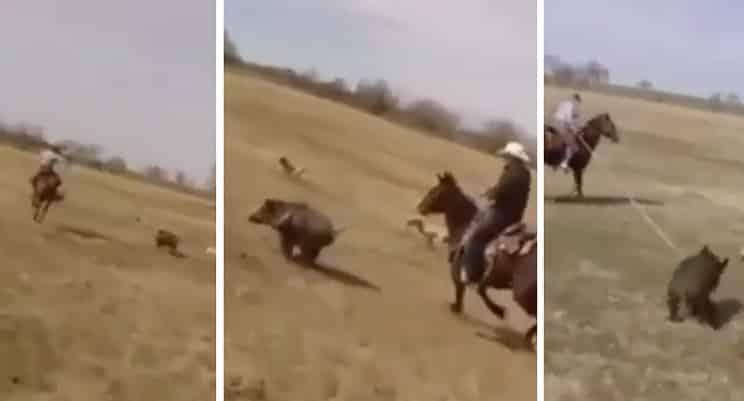 Así se cazan jabalíes con lazo… ¡desde un caballo!