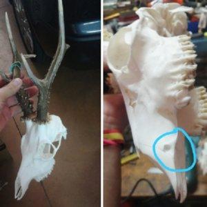 Caza un raro y esquivo corzo con colmillos que había fallado dos veces