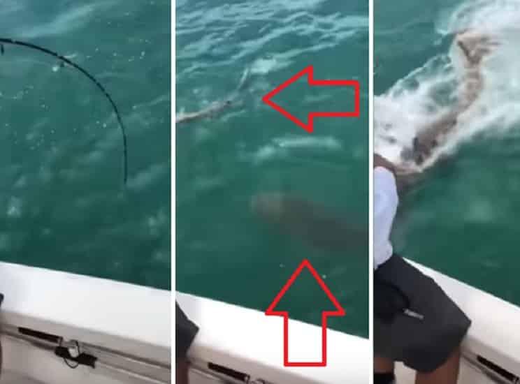 Un mero gigante devora a un tiburón