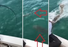 mero tiburón