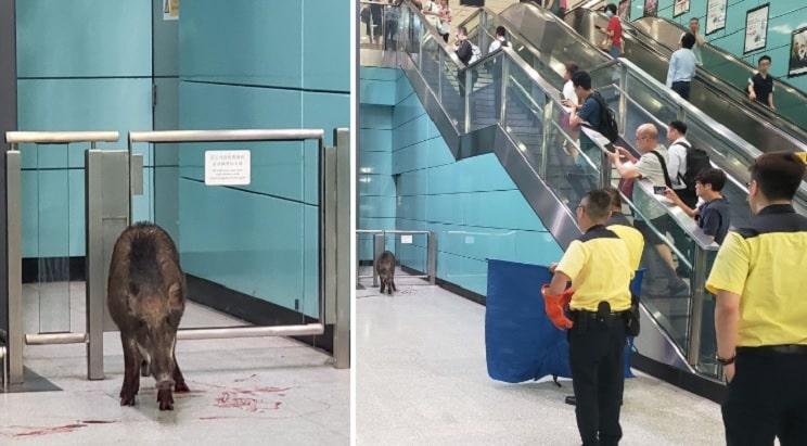 Insólito: un jabalí se cuela en una estación de metro y hiere a una mujer