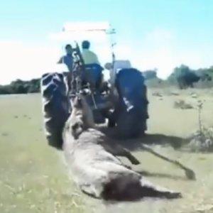 Cazan un monstruoso jabalí que tiene que ser arrastrado por un tractor