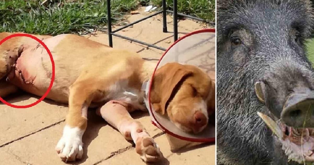 Un jabalí ataca a un cachorro de tres meses y lo deja en estado grave