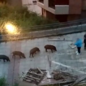 Dos animalistas alimentaban a los jabalíes que atacaron a la Policía de Oviedo