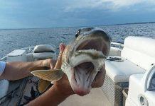 pez dos cabezas