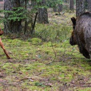 Majadahonda contrata perros pastores para devolver a los jabalíes al monte