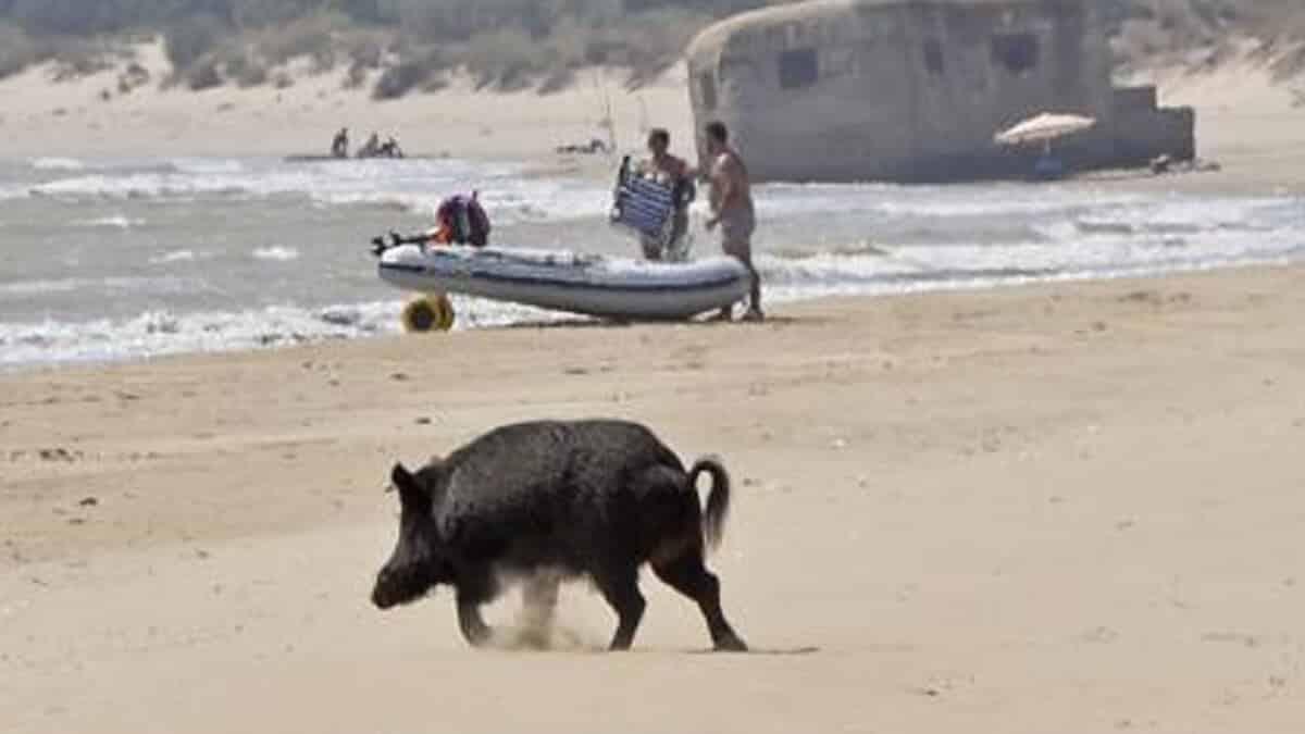 Consecuencias de no cazar: 8 de cada 10 jabalíes del Parque Nacional de Doñana tienen tuberculosis