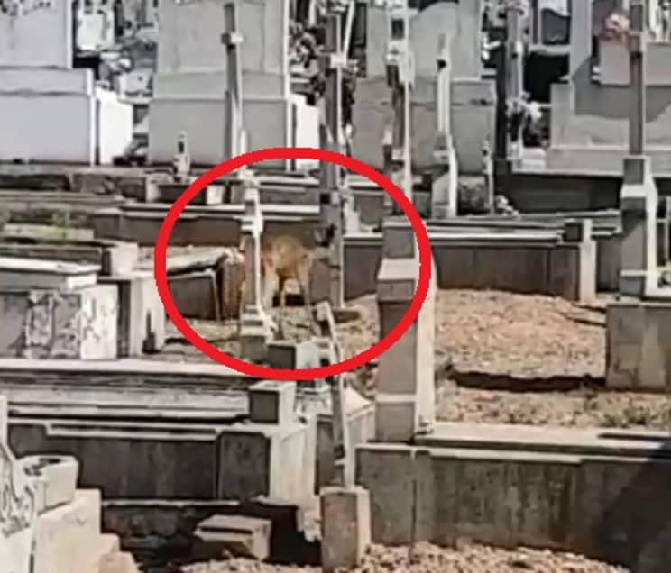 Graban una corza paseándose por el cementerio donde descansa Delibes