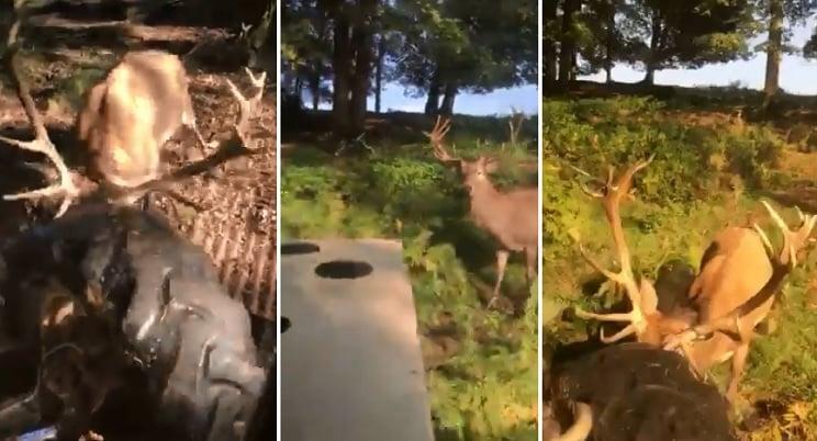 Un ciervo se 'ceba' contra un tractor en plena berrea
