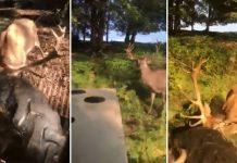 ciervo tractor