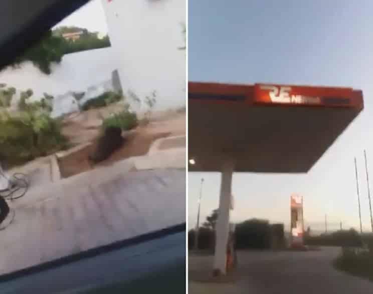 Un enorme jabalí acude a revolcarse a una gasolinera a plena luz del día