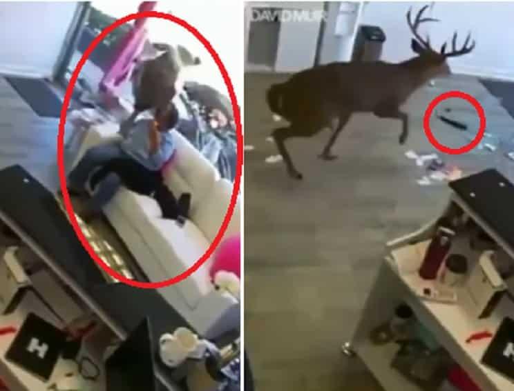 Un ciervo irrumpe en una peluquería reventando el cristal del escaparate