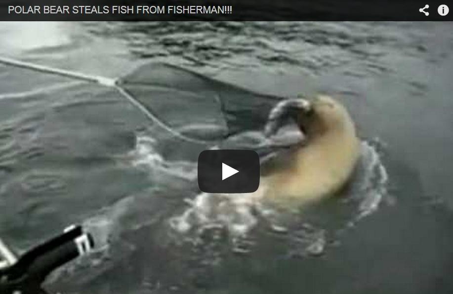 Impresionante ataque de oso polar para robar un pescado