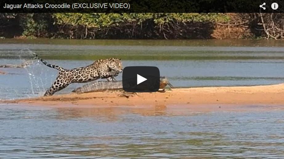 Jaguar vs caimán